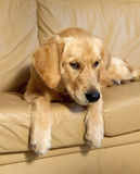 Young Golden Retriever. Stock Images