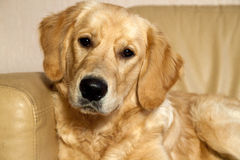 Young Golden Retriever. Royalty Free Stock Photo