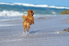 Young golden retriever on the beach Royalty Free Stock Photo