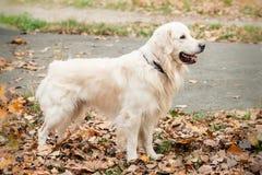 Young golden retriever dog Stock Photos