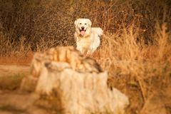 Young golden retriever dog Royalty Free Stock Photo