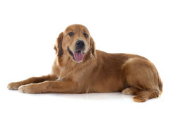 Young golden retriever Royalty Free Stock Images