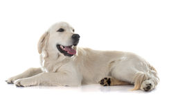 Young golden retriever Royalty Free Stock Photos