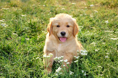 Young golden retriever Royalty Free Stock Photography
