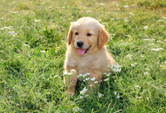 Young golden retriever Stock Photos