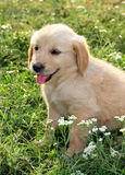 Young golden retriever Stock Image
