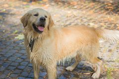 Young golden retriever playing in the park, cute dog royalty free stock photography
