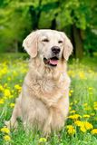 Young Golden Retriever posing between dandelions Stock Image
