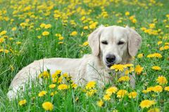 Young Golden Retriever posing between dandelions Stock Photography