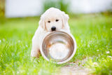 Young golden retriever puppy Royalty Free Stock Photo