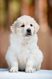 Young golden retriever puppy Stock Photo