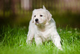 Young golden retriever puppy Royalty Free Stock Photos