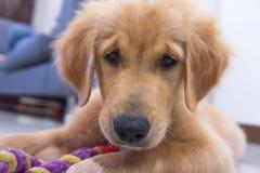 Young golden retriever puppy stock photos
