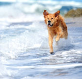 Young golden retriever running Royalty Free Stock Photo