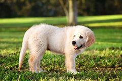 Young golden retriever staning in grass stock image