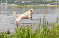 Young Golden Retriever swims in a river. Stock Image