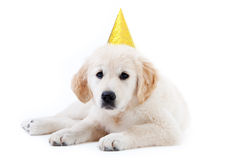 Young golder retriever puppy with birthday hat Stock Images