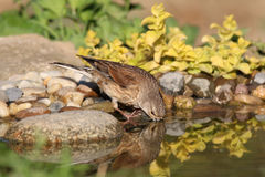 Young Goldfinch drinks water. Young female goldfinch drinks water in hot summer day Stock Photos