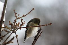 Young goldfinch on forsythia Royalty Free Stock Photos