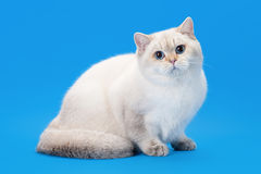 Young golen color point british kitten on light blue Royalty Free Stock Photo