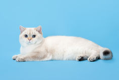 Young golen color point british kitten on light blue Stock Photo