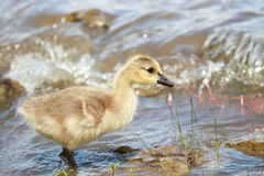 Young goose Stock Photos