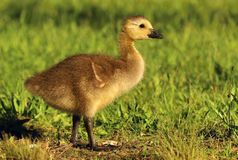 Young goose Branta canadensis Royalty Free Stock Photos
