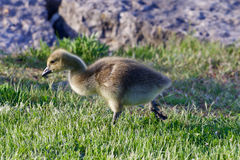 The young goose is going somewhere Royalty Free Stock Images