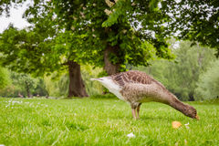 Young goose looking for food Royalty Free Stock Images