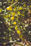 Young gooseberries hanging on a branch Royalty Free Stock Photos