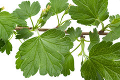 Young gooseberry leaf Royalty Free Stock Photography