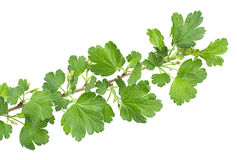 Young gooseberry leaf Royalty Free Stock Photo