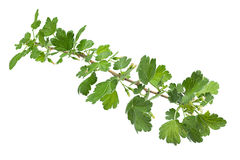 Young gooseberry leaf Stock Images
