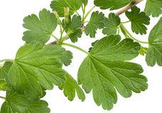 Young gooseberry leaf Stock Image