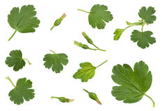 Young gooseberry leaf collection Stock Photo