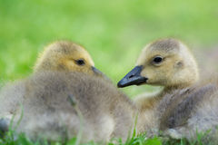 Young gooses laying in grass Stock Photos