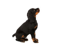 Young gordon setter puppy on white background Stock Images