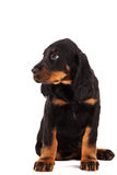 Young gordon setter puppy on white background Royalty Free Stock Images