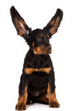 Young gordon setter puppy on white background Royalty Free Stock Image