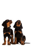 Young gordon setter puppy on white background Stock Photos