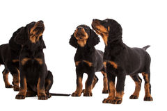 Young gordon setter puppy on white background Stock Photo