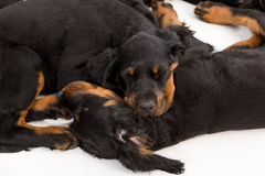 Young gordon setter puppy on white background Royalty Free Stock Photo