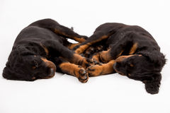 Young gordon setter puppy on white background Stock Image