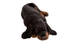 Young gordon setter puppy on white background Stock Photography