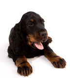 Young gordon setter puppy on white background Royalty Free Stock Photos
