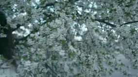 Girl near blooming tree, slow motion. Young gorgeous brunette woman near blooming tree. Slow motion stock footage