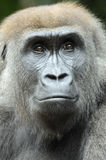 Young Gorilla. A portrait of one of the gorilas at the Toronto Zoo Stock Images