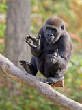 Young gorilla clapping hands Royalty Free Stock Photography
