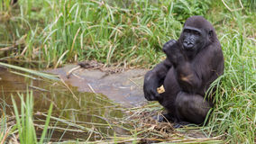 Young gorilla eating Stock Photo