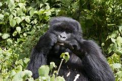 Young Gorilla Feeding Stock Image
